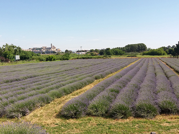 lavanda can rossello